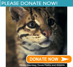 Texas Donate Ocelot