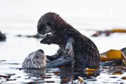 FLD_CA Otters