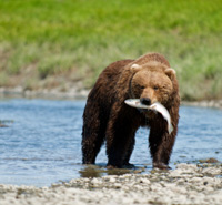 Take Action: Help Save Alaska's Salmon and Grizzlies -- Read more.