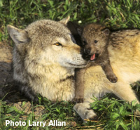 Take Action: Protect Wyoming Wolves -- Read more.