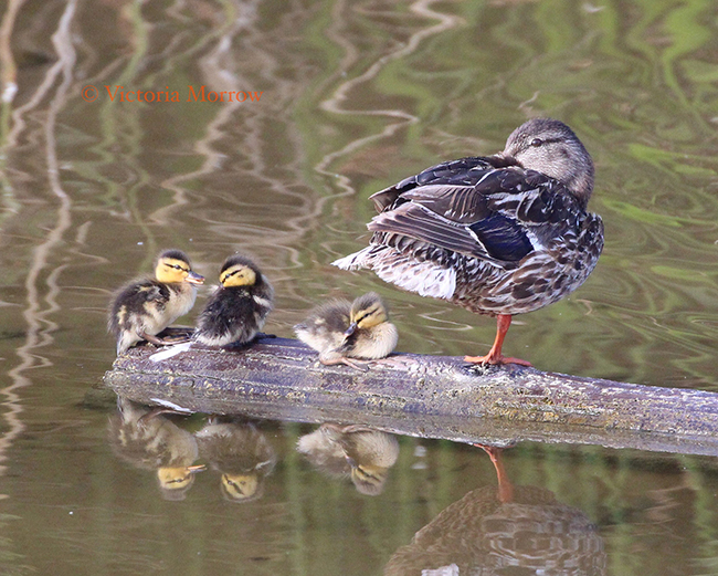 -- Duck and Ducklings --