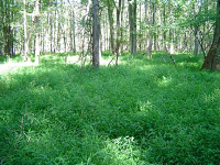Japanese Stiltgrass Covering the Forest Floor