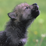 wolf-pup-year-end-appeal.jpg